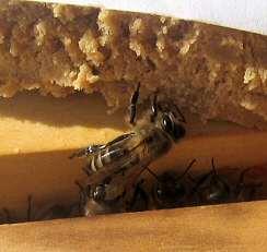 hrana proteica pentru albine