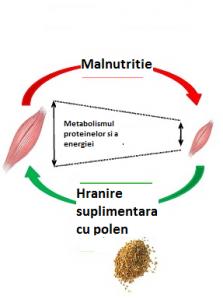 polenul in dezvoltare masa musculara